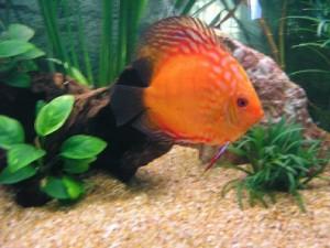 Рыбка Майя
